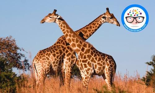 Zürafaların özellikleri ve Zürafalar hakkında bilgi