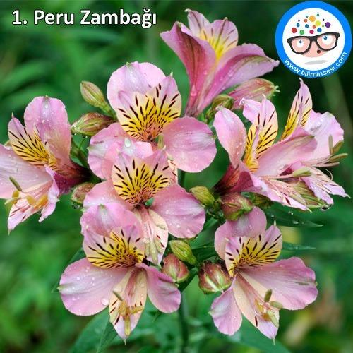 Peru zambağı-çiçek anlamları