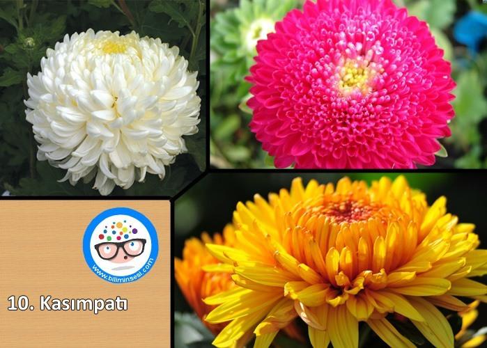 kasımpatı-çiçek anlamları
