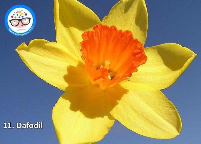 dafodil-çiçek anlamları