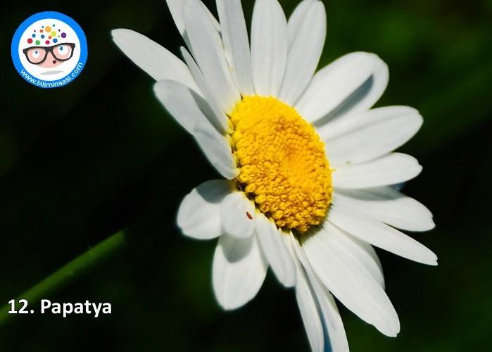 papatya-çiçek anlamları