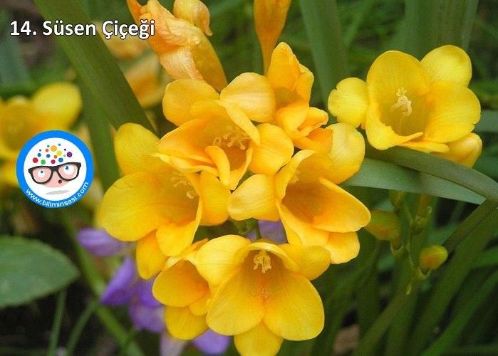 süsen-çiçek anlamları
