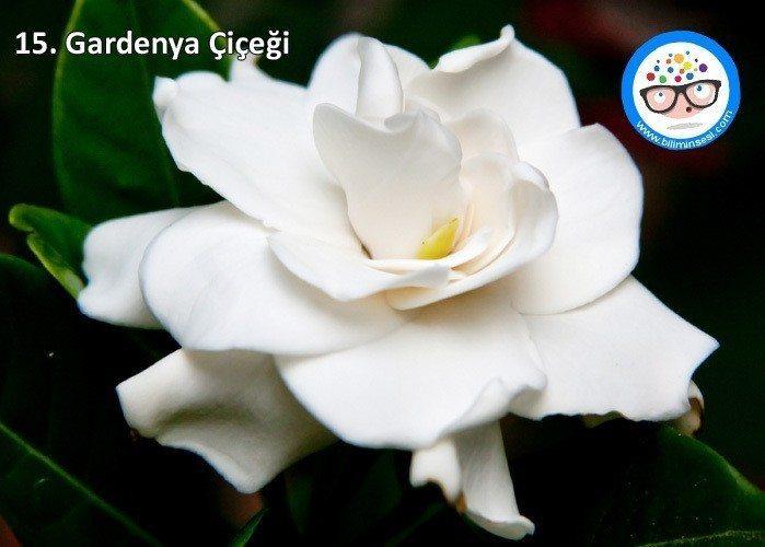 gardenya-çiçek anlamları
