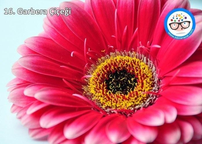 garbera-çiçek anlamları