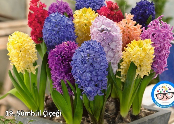 sümbül-çiçek anlamları