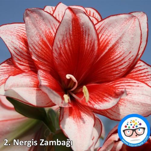 nergis zambağı-çiçek anlamları