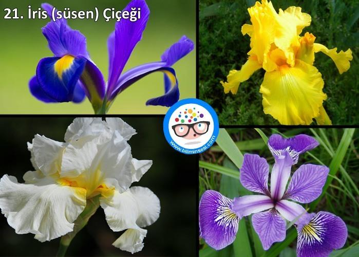 iris-çiçek anlamları