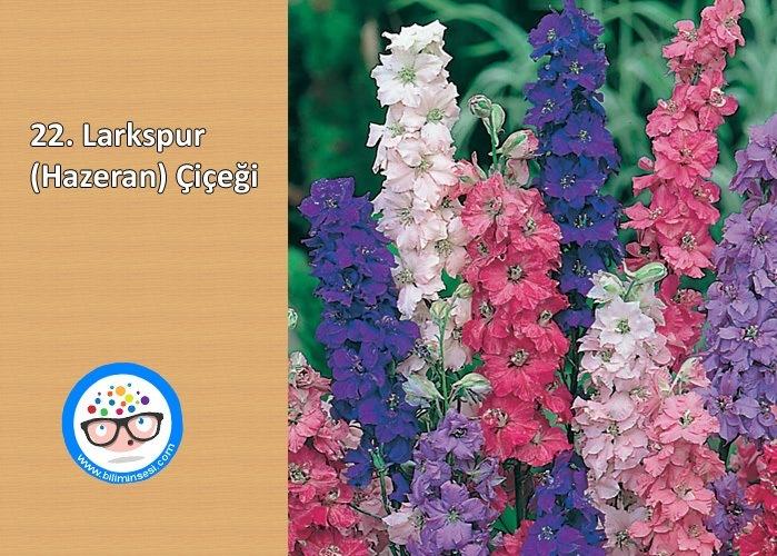 larkspur-çiçek anlamları