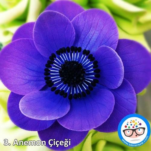 anemon-çiçek anlamları