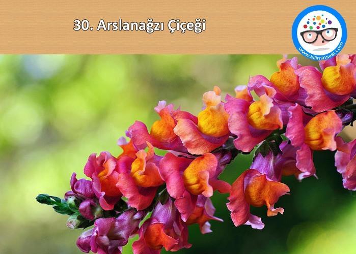 arslanağzı-çiçek anlamları