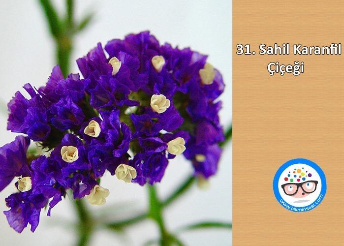 sahil karanfil-çiçek anlamları