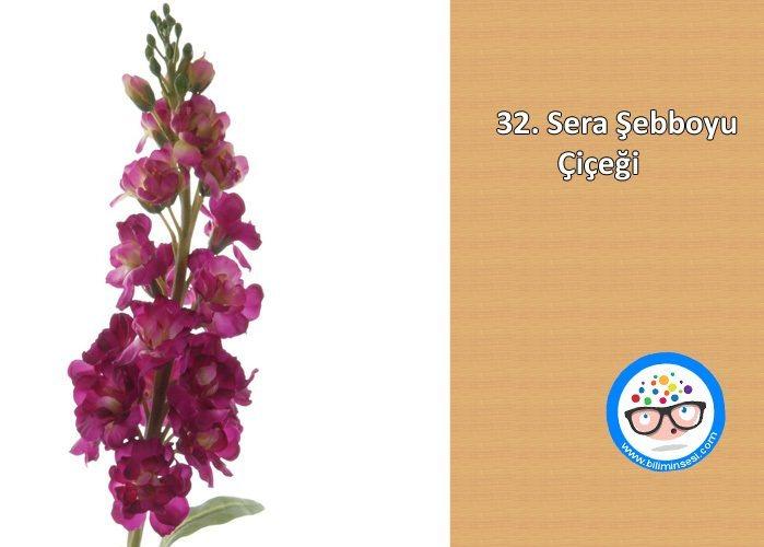 sera şebboyu-çiçek anlamları