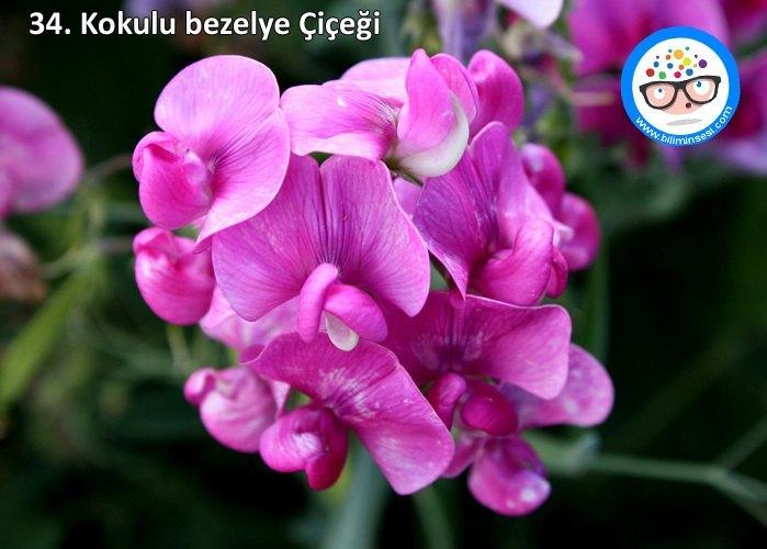 kokulu bezelye çiçeği-çiçek anlamları