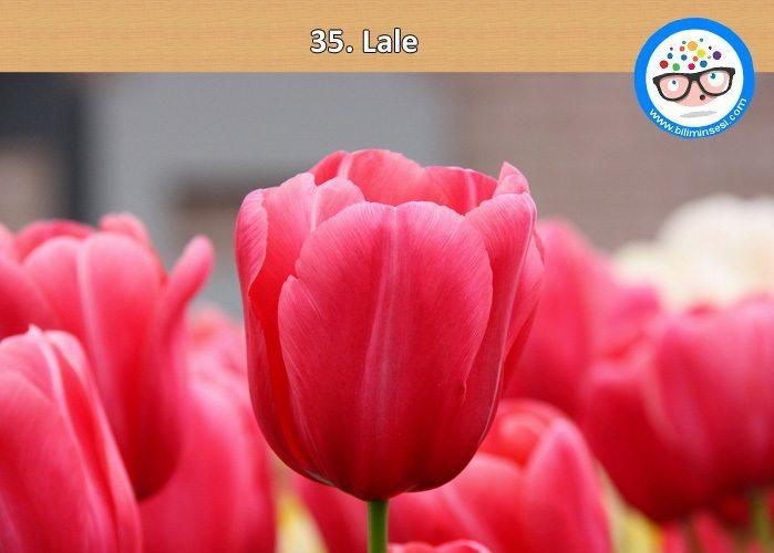 lale-çiçek anlamları