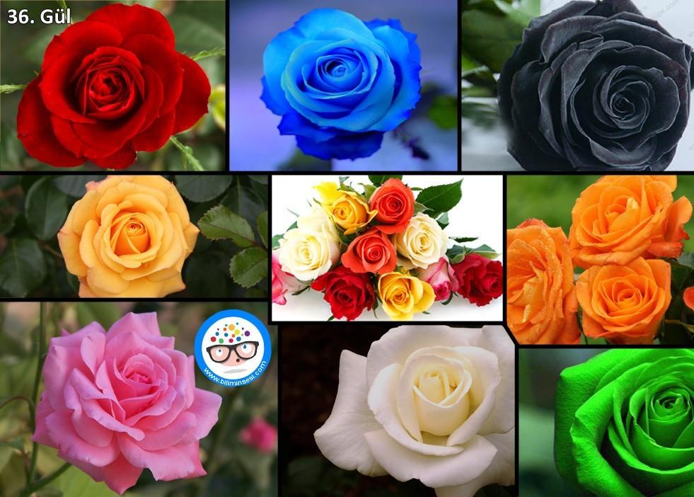 gül-çiçek anlamları