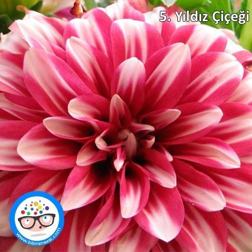 yıldız çiçeği-çiçek anlamları