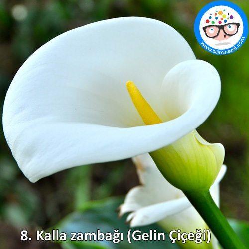 kalla zambağı-çiçek anlamları