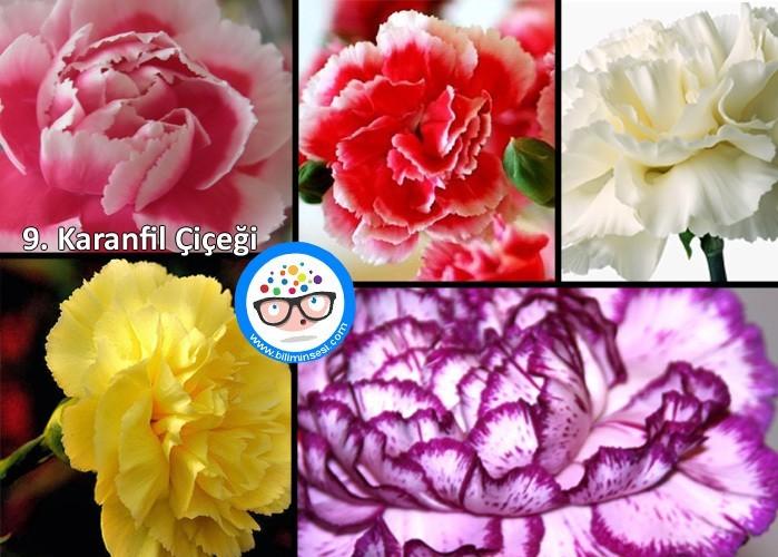 karanfil-çiçek anlamları
